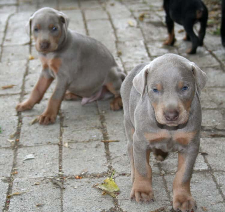doberman puppy fawns
