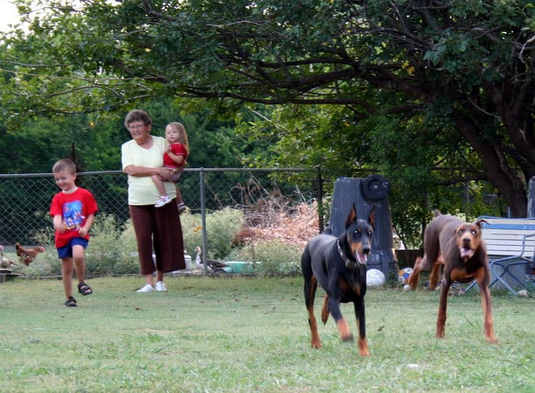 Doberman breeders