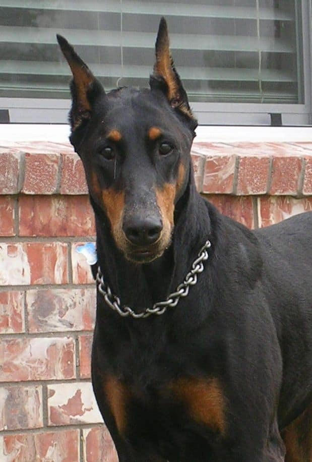 black female doberman grandmother