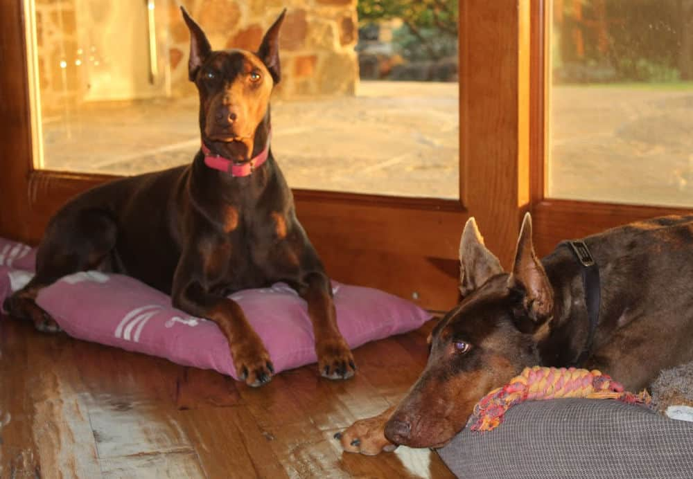 red and rust female doberman and her mother