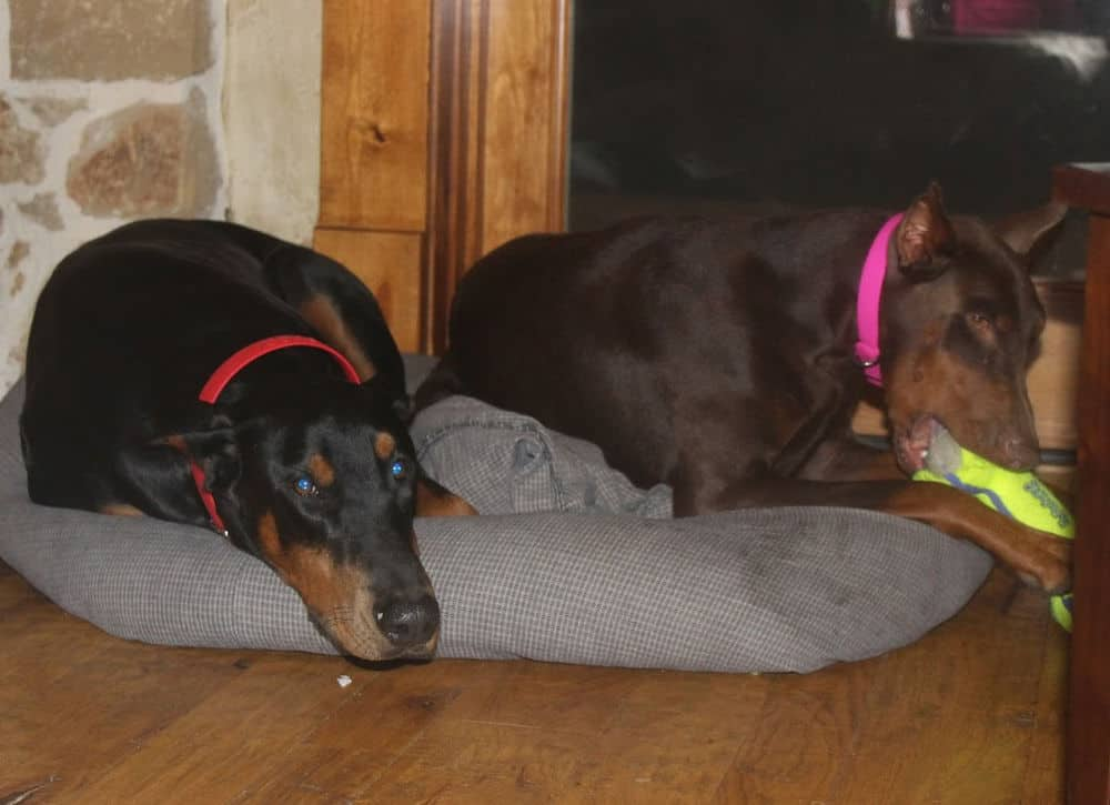red and rust female doberman and black rust male doberman