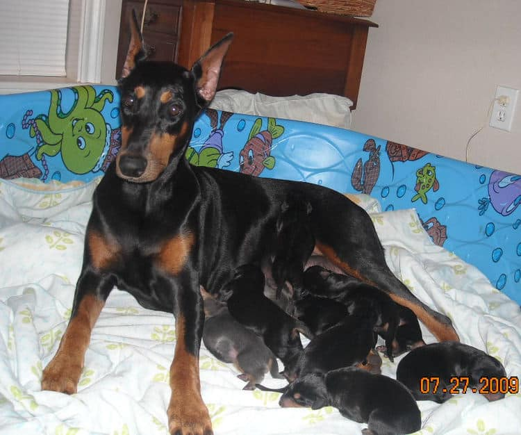 day old dobe puppies