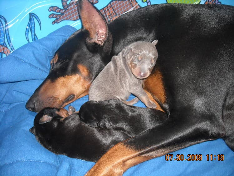 1st week old doberman puppy pictures