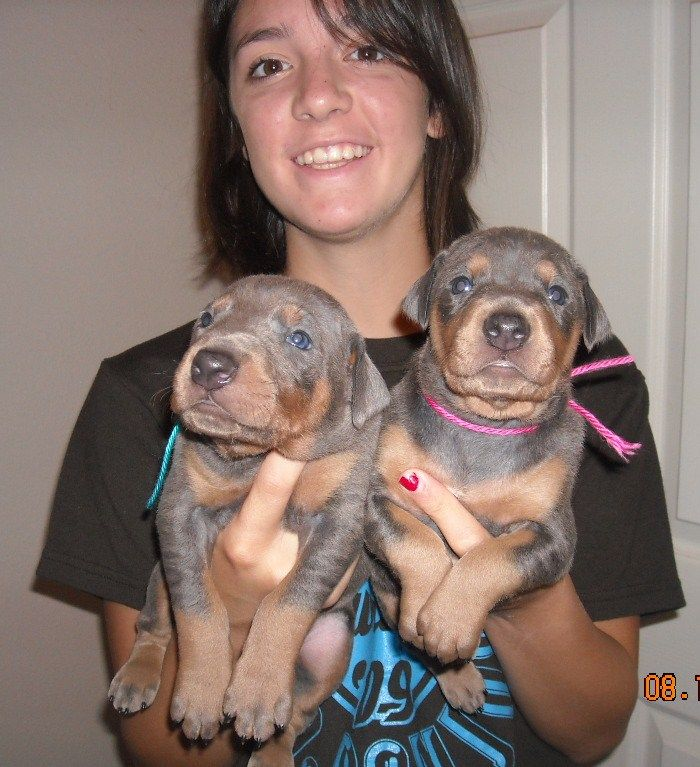 Watsons' doberman puppies