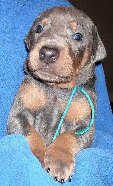 blue and rust male doberman puppy