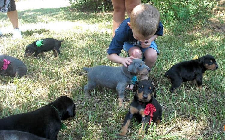 blue and rust male doberman puppy and family
