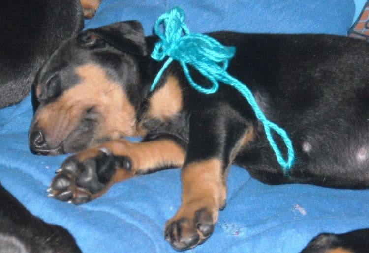 Black and rust female doberman puppy