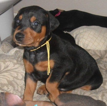 black and rust male doberman puppy