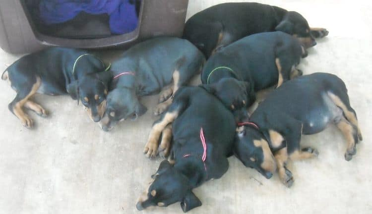 6 week old doberman puppy pictures