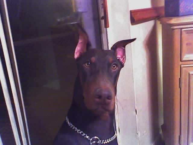 doberman 6 month old male pup