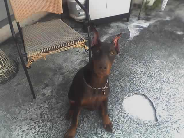 doberman 4 month old male pup