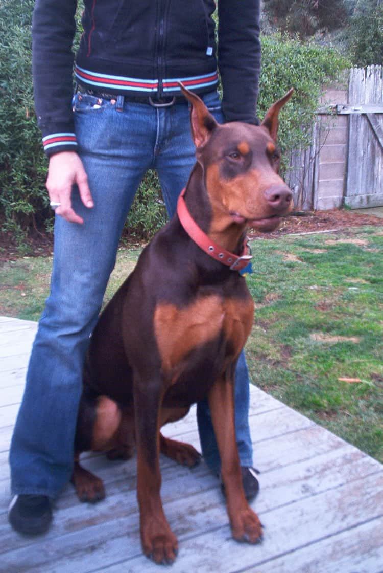 Doberman male