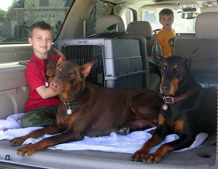 7 week old doberman puppies