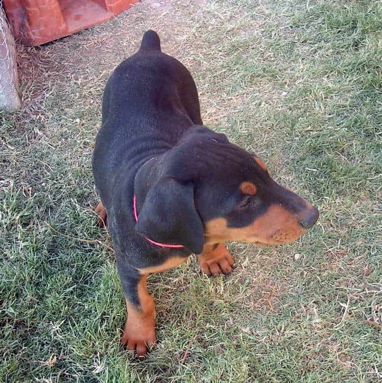 7 week old black rust male doberman puppy