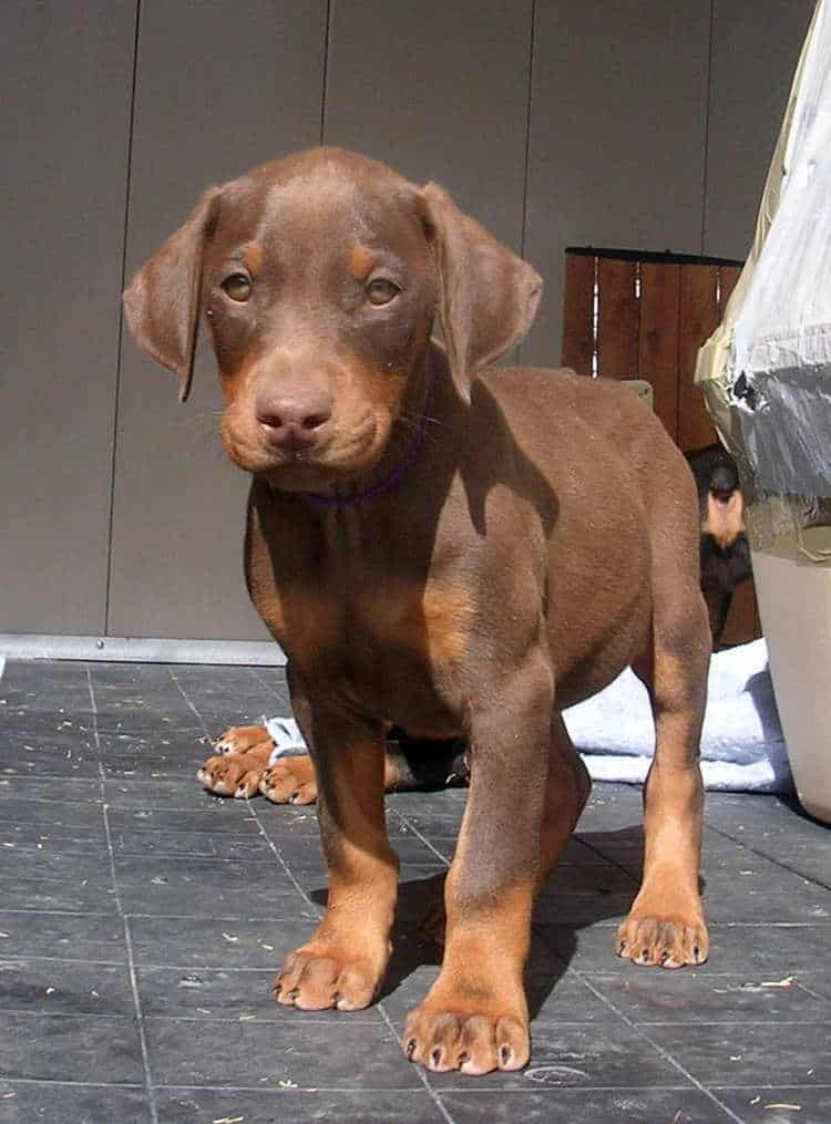 7 week old red rust female doberman puppy
