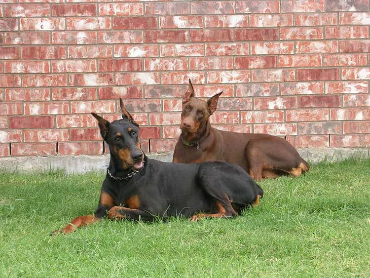 red rust female doberman with mother