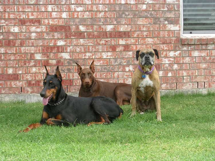 red rust female doberman with mother and boxer