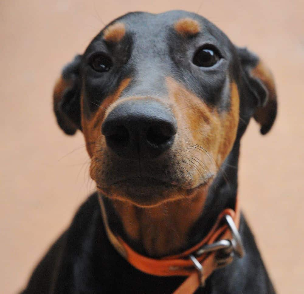 black and rust female doberman