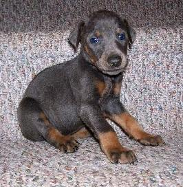 blue and rust female Doberman pup