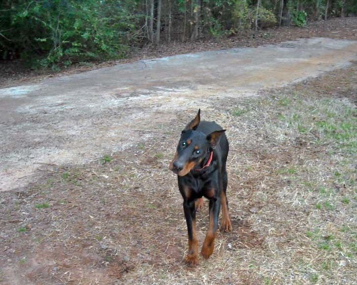 Black and rust male doberman sire
