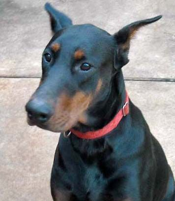 black male doberman father