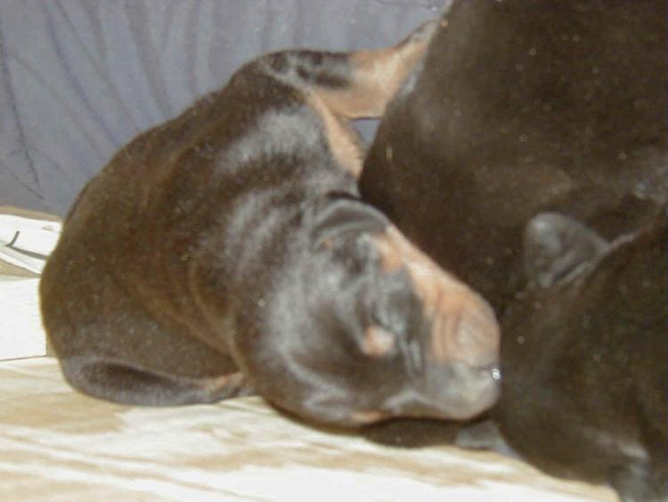 doberman puppy at 1 week old