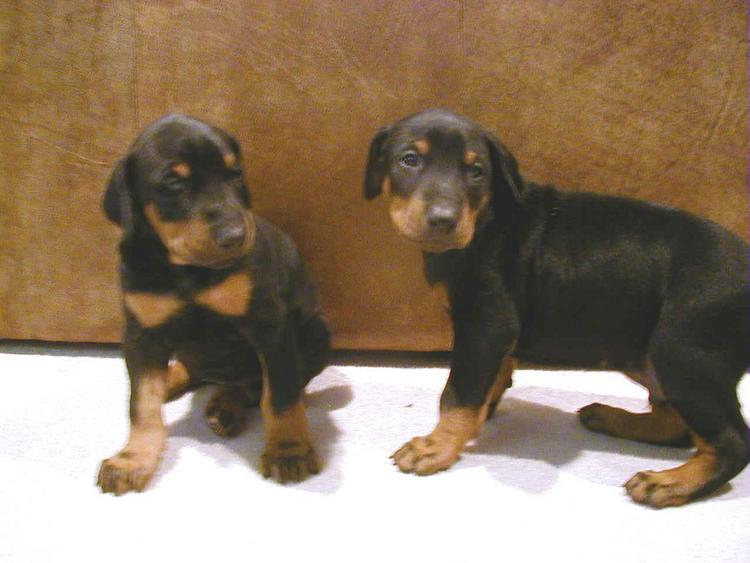 doberman puppy at 4 weeks old