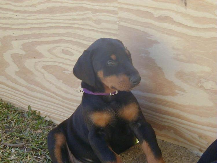 doberman puppy at 5 weeks old