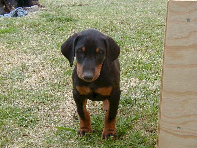 doberman puppy at 7 weeks old