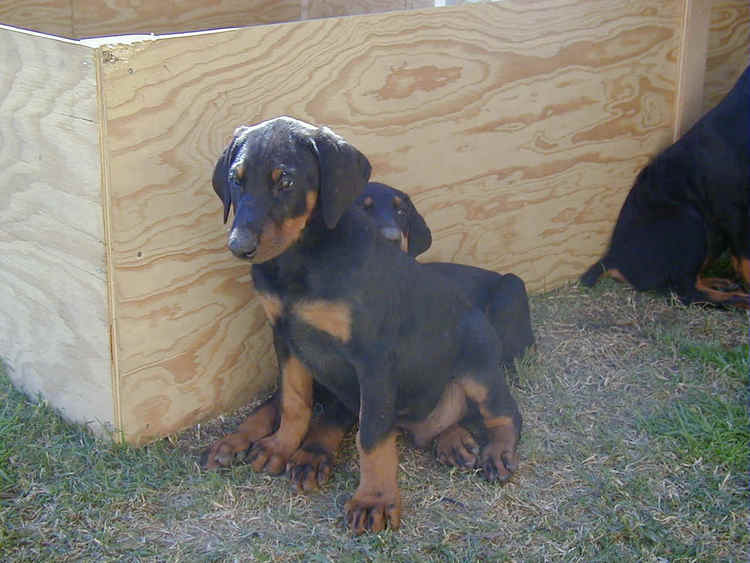 doberman puppy at 8 weeks old