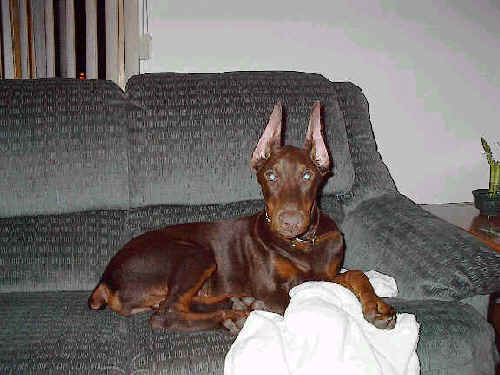 doberman red male puppy ears cropped