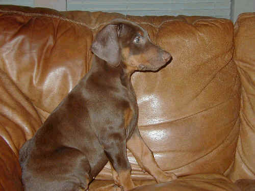 8 wk old red rust doberman male