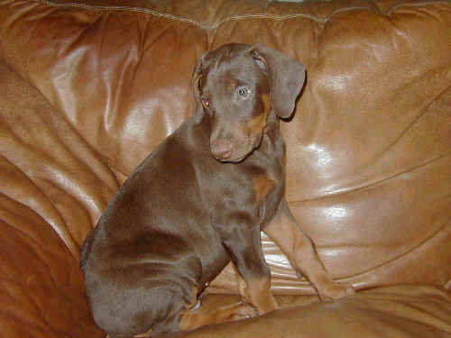 doberman red rust male puppy