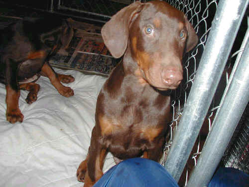 doberman red male
