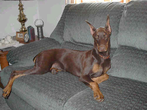 doberman red rust female