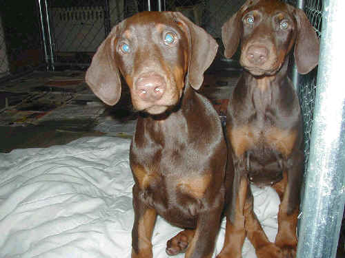 10 week old doberman puppies