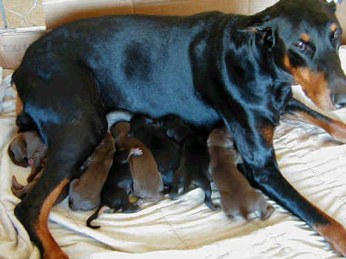 day old dobe pups