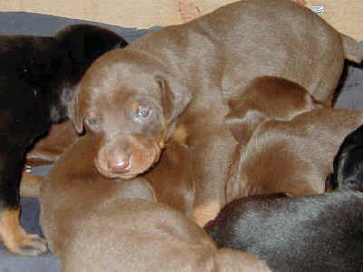 2 week old doberman pinscher puppies