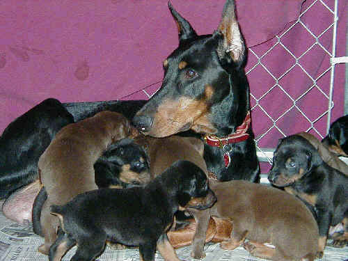 3 week old doberman pinscher puppies