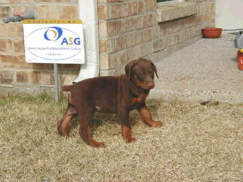 6 week old doberman puppy