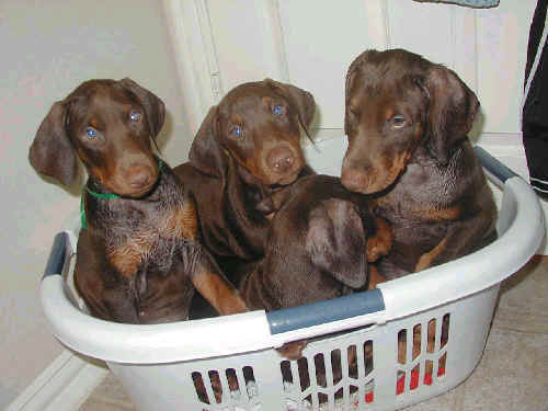 8 week old doberman puppies