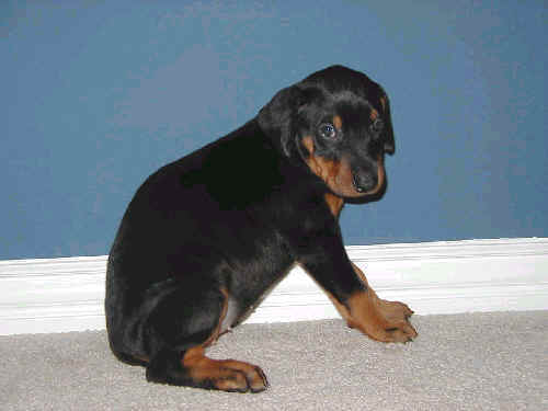 5 week old doberman puppy