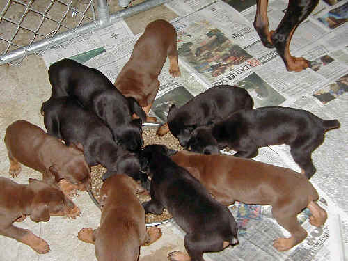 doberman puppies puppy food