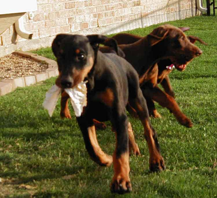 Doberman puppies at 10 weeks old