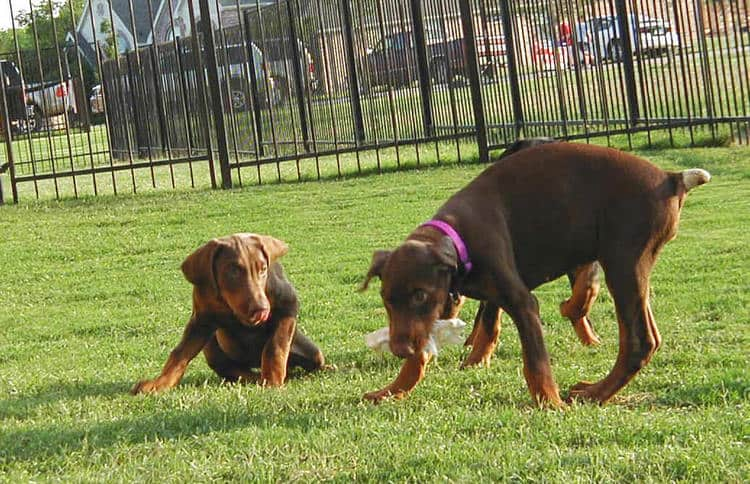 red rust female doberman puppy playing