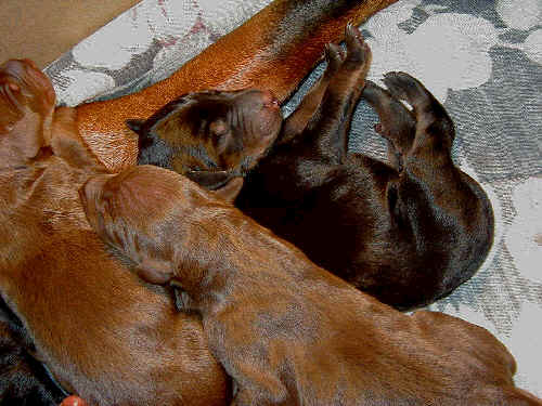 black rust and red rust doberman puppies one day old
