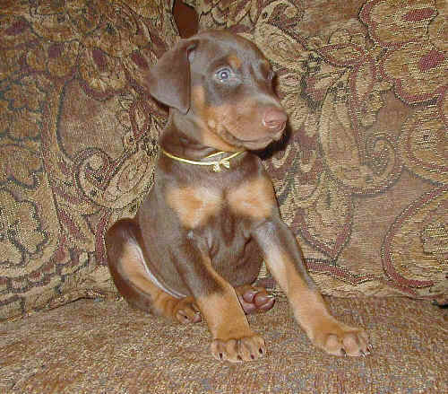 Doberman puppies at 5 weeks old