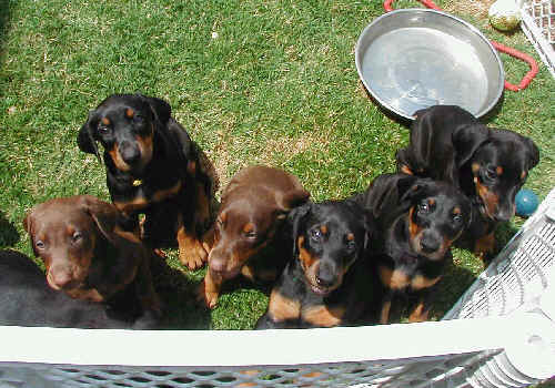 Doberman puppies at 6 weeks old