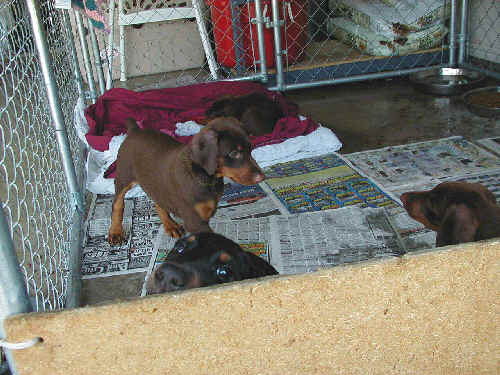 Doberman puppies at 7 weeks old