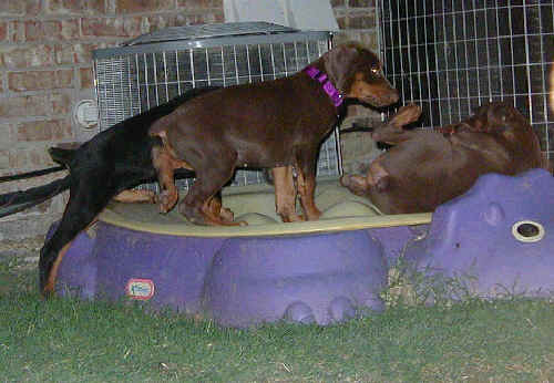 Doberman puppies at 8 weeks old